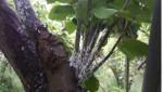 미국선녀벌레(배나무약충피해).jpg